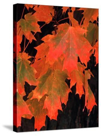 Sugar Maple Leaves in Fall, Vermont, USA-Charles Sleicher-Stretched Canvas Print