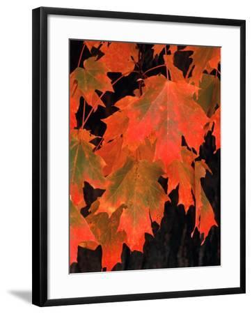 Sugar Maple Leaves in Fall, Vermont, USA-Charles Sleicher-Framed Photographic Print