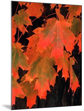 Sugar Maple Leaves in Fall, Vermont, USA-Charles Sleicher-Mounted Photographic Print