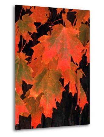 Sugar Maple Leaves in Fall, Vermont, USA-Charles Sleicher-Metal Print