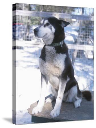 Husky Dog Sitting on Kennel--Stretched Canvas Print
