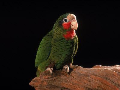 Grand Cayman Amazon Parrot-John Dominis-Framed Photographic Print