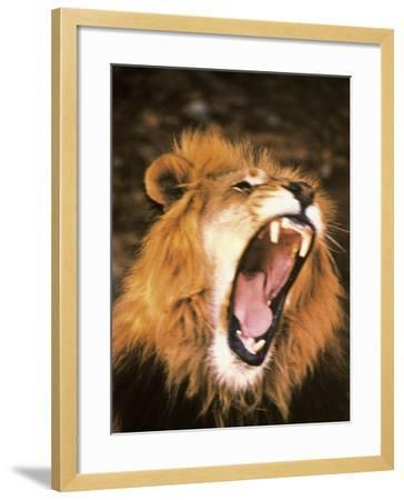 Lion Roaring in the Wild-John Dominis-Framed Photographic Print