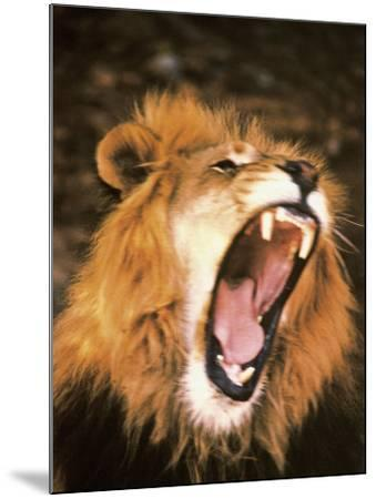 Lion Roaring in the Wild-John Dominis-Mounted Photographic Print