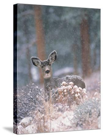 Deer in Winter Forest-D^ Robert Franz-Stretched Canvas Print