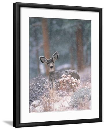 Deer in Winter Forest-D^ Robert Franz-Framed Photographic Print