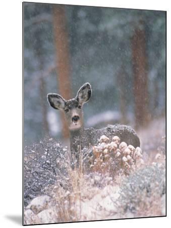 Deer in Winter Forest-D^ Robert Franz-Mounted Photographic Print