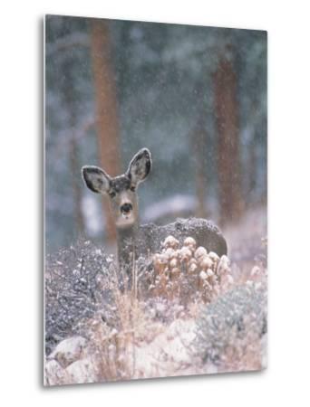 Deer in Winter Forest-D^ Robert Franz-Metal Print