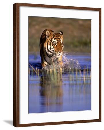 Captive Bengal Tiger, India-Stuart Westmorland-Framed Photographic Print