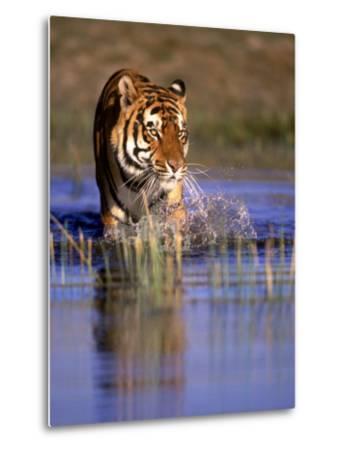 Captive Bengal Tiger, India-Stuart Westmorland-Metal Print