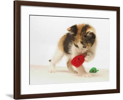 Multicolored Kitten Playing with Toy-Steve Starr-Framed Photographic Print