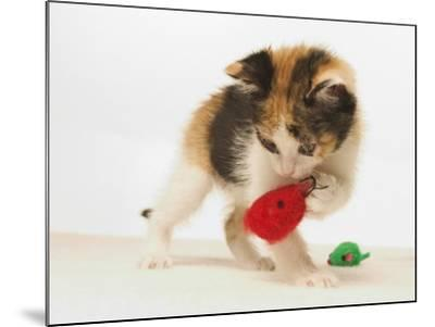 Multicolored Kitten Playing with Toy-Steve Starr-Mounted Photographic Print