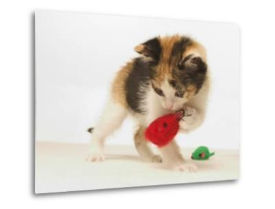 Multicolored Kitten Playing with Toy-Steve Starr-Metal Print