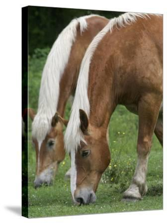 Belgian Draft Horses Jim, Right, and Jake Graze--Stretched Canvas Print