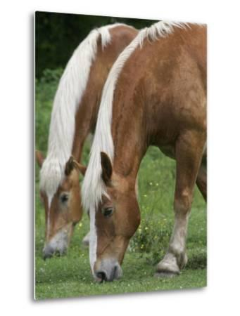 Belgian Draft Horses Jim, Right, and Jake Graze--Metal Print