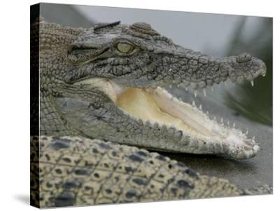 A Young Saltwater Crocodile--Stretched Canvas Print
