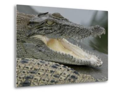 A Young Saltwater Crocodile--Metal Print