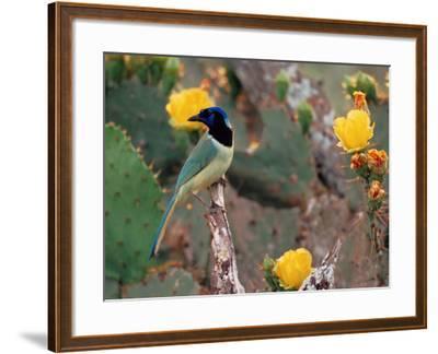 Green Jay, Texas, USA-Dee Ann Pederson-Framed Photographic Print