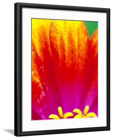 Whirligig Zinnia, Seattle, Washington, USA-Terry Eggers-Framed Photographic Print