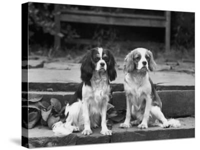 Camilla of Hillbarn Dickon of Littlebreach Sitting Together. Owner: Percival-Thomas Fall-Stretched Canvas Print