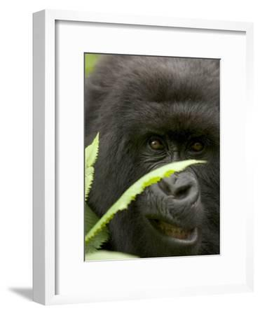 Mountain Gorilla (Gorilla Gorilla Berengei)Showing Teeth, with Leaves-Roy Toft-Framed Photographic Print
