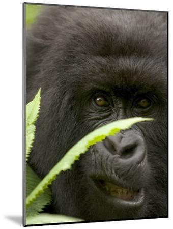 Mountain Gorilla (Gorilla Gorilla Berengei)Showing Teeth, with Leaves-Roy Toft-Mounted Photographic Print