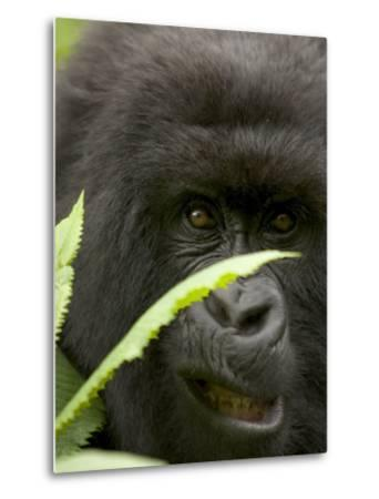 Mountain Gorilla (Gorilla Gorilla Berengei)Showing Teeth, with Leaves-Roy Toft-Metal Print