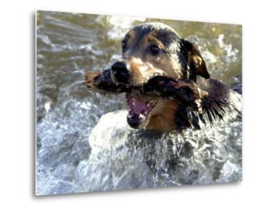 Summer a Labrador Retriever-Rottweiler Crossbreed Swims--Metal Print