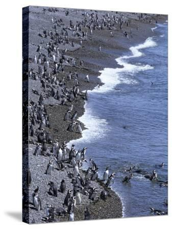 Magellan Penguin Colony, Punta Tombo, Patagonia, Punta Tombo Provincial Reserve, Argentina-Holger Leue-Stretched Canvas Print