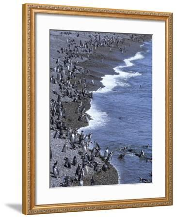Magellan Penguin Colony, Punta Tombo, Patagonia, Punta Tombo Provincial Reserve, Argentina-Holger Leue-Framed Photographic Print