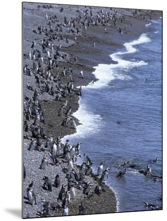 Magellan Penguin Colony, Punta Tombo, Patagonia, Punta Tombo Provincial Reserve, Argentina-Holger Leue-Mounted Photographic Print