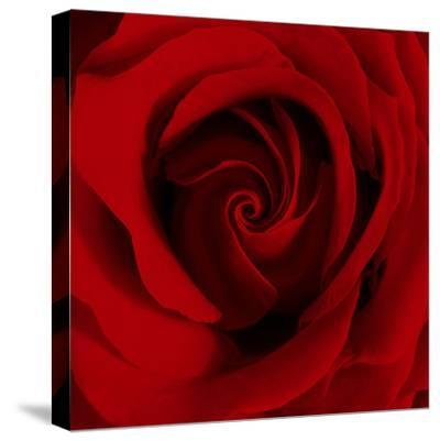 Extreme Close-up of Red Rose-James Guilliam-Stretched Canvas Print