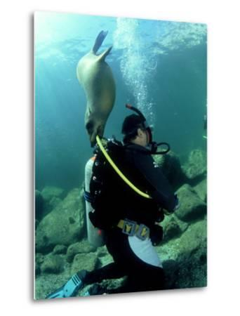 Diver with Californian Sea Lion, Mexico-Tobias Bernhard-Metal Print