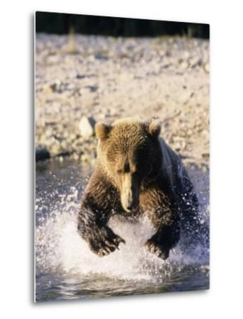Alaskan Brown Bear, Large Male Catching Salmon in Water, Alaska-Daniel J. Cox-Metal Print