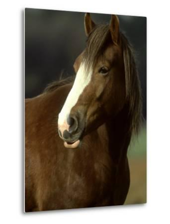 Horse, Chestnut & White Portrait-Mark Hamblin-Metal Print