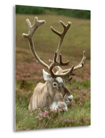 Reindeer, Portrait on Heather, Scotland-Mark Hamblin-Metal Print
