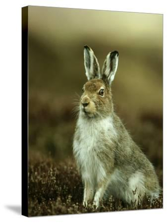 Mountain Hare, Adult in Spring, Scotland-Mark Hamblin-Stretched Canvas Print