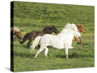 Icelandic Horses Running Across Meadow, Iceland-Mark Hamblin-Stretched Canvas Print