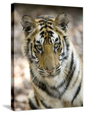 Bengal Tiger, Close-up Portrait of Female Tiger, Madhya Pradesh, India-Elliot Neep-Stretched Canvas Print