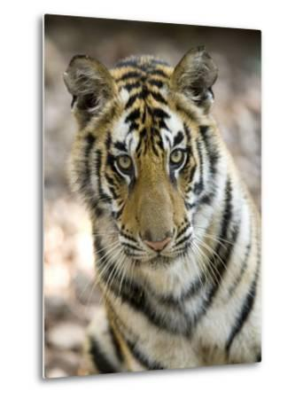 Bengal Tiger, Close-up Portrait of Female Tiger, Madhya Pradesh, India-Elliot Neep-Metal Print