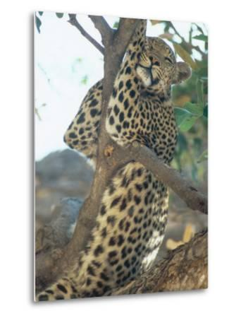 Leopard, Resting in Tree During Heat of the Day, Botswana-Richard Packwood-Metal Print