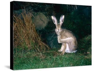 Brown Hare, Grooming, UK-Mary Plage-Stretched Canvas Print
