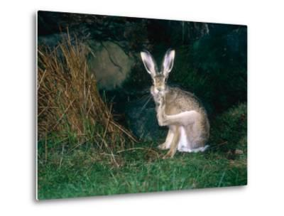 Brown Hare, Grooming, UK-Mary Plage-Metal Print