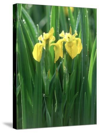 Yellow Iris, Caithness, Scotland-Iain Sarjeant-Stretched Canvas Print