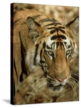 Tiger, Portrait, India-Satyendra K^ Tiwari-Stretched Canvas Print