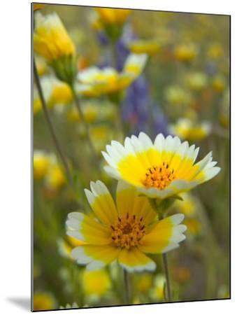 Tiddy Tips and Lupine, Shell Creek, California, USA-Terry Eggers-Mounted Photographic Print