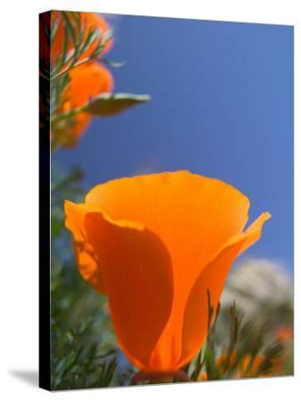 Poppies in Spring Bloom, Lancaster, California, USA-Terry Eggers-Stretched Canvas Print