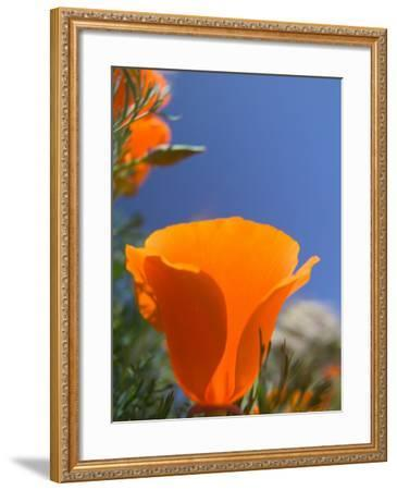 Poppies in Spring Bloom, Lancaster, California, USA-Terry Eggers-Framed Photographic Print