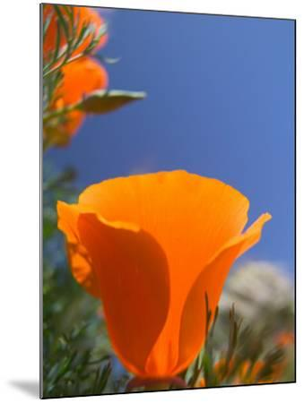 Poppies in Spring Bloom, Lancaster, California, USA-Terry Eggers-Mounted Photographic Print
