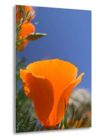 Poppies in Spring Bloom, Lancaster, California, USA-Terry Eggers-Metal Print